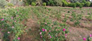 Μαρμελάδα γλυκό Τριαντάφυλλο Αχαΐας Gareden 250gr